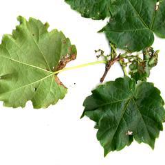 Parthenocissus tricuspidata - scanned shoot