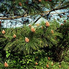 Red pine with lower boughs bearing clusters of microsporangiate strobili