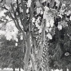 Semnopithecus entellus