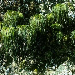 Kelp - Postelsia  attached to rock at low tide