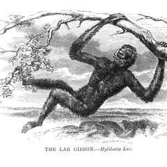 The Lar Gibbon