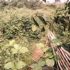 Cocoa plants on farm