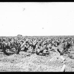 Spineless cacti