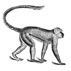 Walking Spider Monkey Print