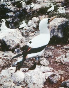 Nazca Booby (Sula granti) and Sharp-beaked Ground Finch (Geospiza difficilis)