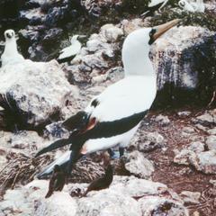 Nazca Booby (Sula granti) and Sharp-beaked Ground Finch (Geospiza difficilis)