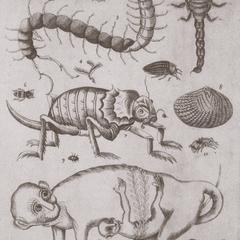 Abbildung I : Cercopithecus luzonis (1702) nach einer Skizze von Camel (um 1700)