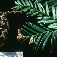 Branch with male cones and view of mature female cone of coastal redwood