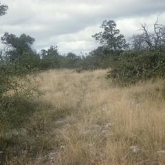 Texas scrub oak and Ulmus crassifolia