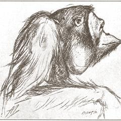Male Orang-outan