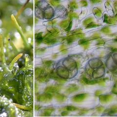 Hornwort  composite - views of the sporophyte and detail of the sporangium showing tetrads of spores