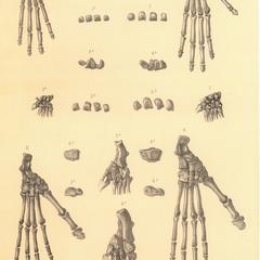 1 et 2-Lemur coronatus; 3 et 4-Lemur flaviventer