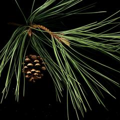 Red pine bough