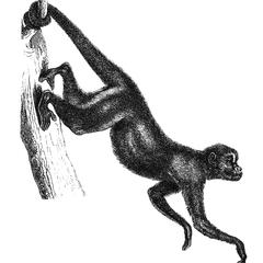 Hanging Red-Faced Spider Monkey Print