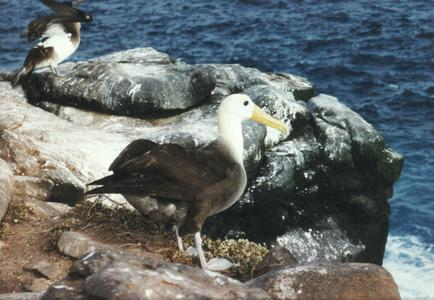 Waved Albatross (Diomedea irrorata)