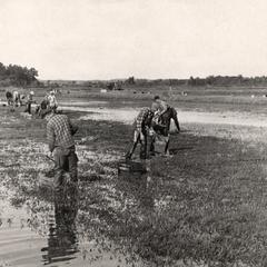 German POWs raking cranberries