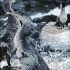 Flightless Cormorants (Phalacrocorax harrisi)