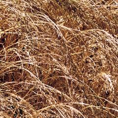 Cutting and Threshing of T'ef, Part 1
