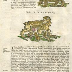 The Bear-Ape