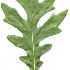 Pinnately veined and lobed leaf of white oak