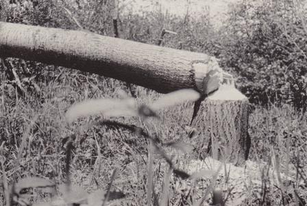 1918 Training camp - felled tree