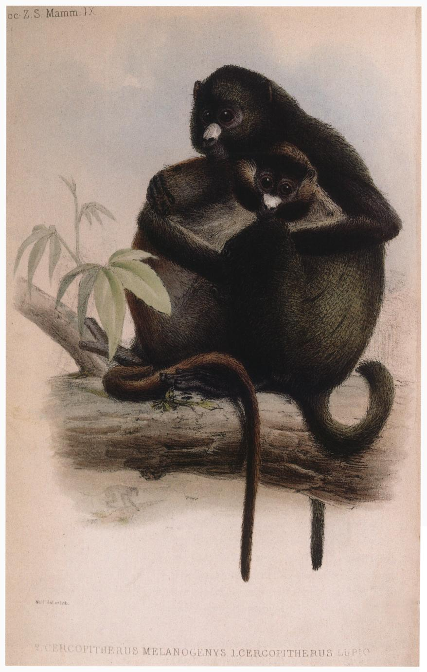 Greater Spot-Nosed Guenon Print