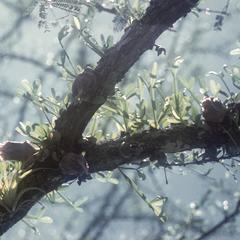 Cauliflorous calabash tree, south of Colima