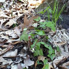 Clump of Hepatica acutiloba in Gallistel Woods