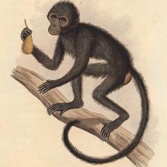 The Mauritius Monkey