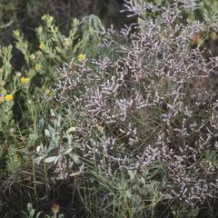 Happlopappus (left) and Limonium (right) in Aransas National Wildlife Refuge, Texas