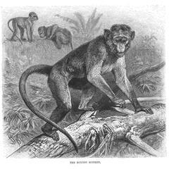 The Bonnet Monkey