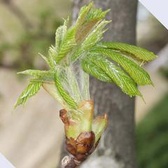Early growth of Horse chestnut
