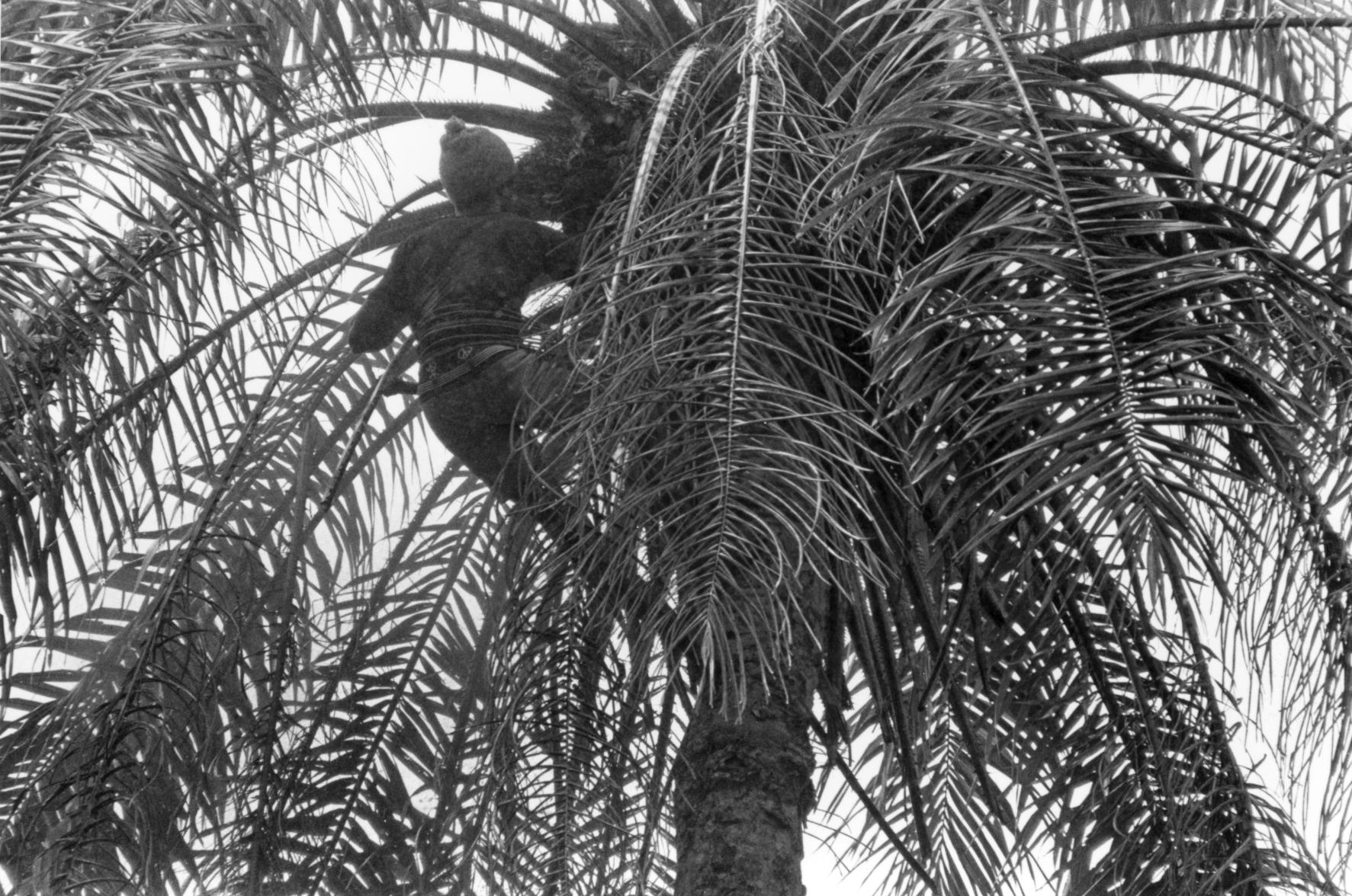 Climber at Top of Tree to Cut Palm Nut Clusters