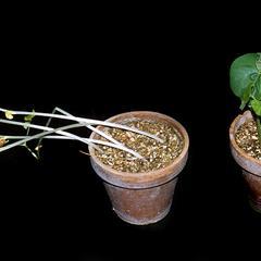 Etiolation - dark grown and light grown plants