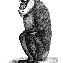 Seated Mandrill Print