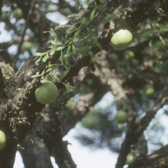 Young calabash gourds, Managua