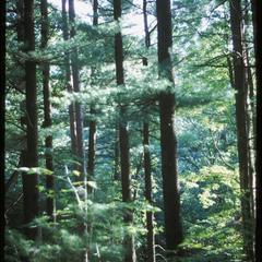 Tall pines, Gullickson's Glen, State Natural Area