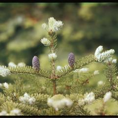 Balsam fir cones, Toft Point, State Natural Area
