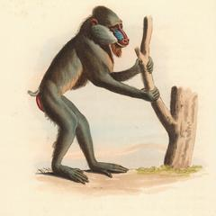 The Variegated Baboon