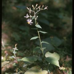 Big-leaved aster in flower, Devil's Lake State Park