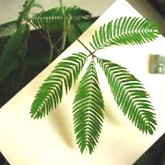 Rapid response of sensitive plant - thigmonastic motion