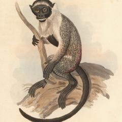 The Spotted Monkey