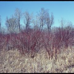 Early spring view of red osier dogwood in East Marsh, University of Wisconsin Arboretum