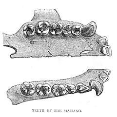 Teeth of the Siamang
