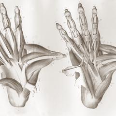Muscles de la Face Plantaire
