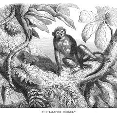 The Talapoin Monkey