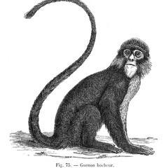 Guenon hocheur