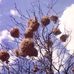 Weaver Bird's Nest