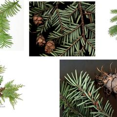 Composite of conifers : yew, hemlock spruce, white cedar and Douglas fir