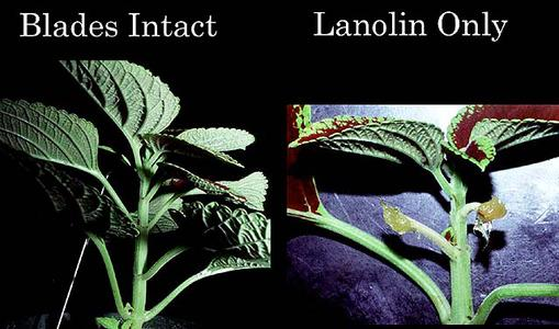 Composite of control vs. treated plants of petiole abscission experiment  -  lanolin only treatment